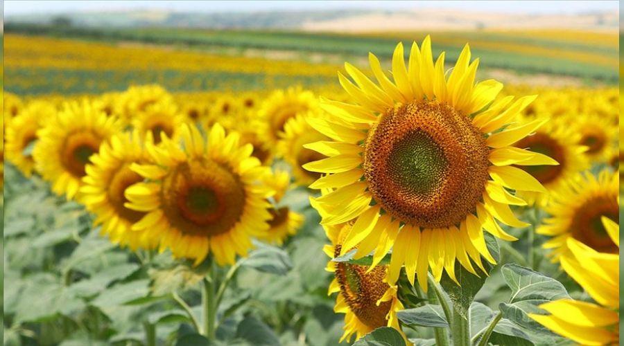 Trakya'da tarım tehlikede